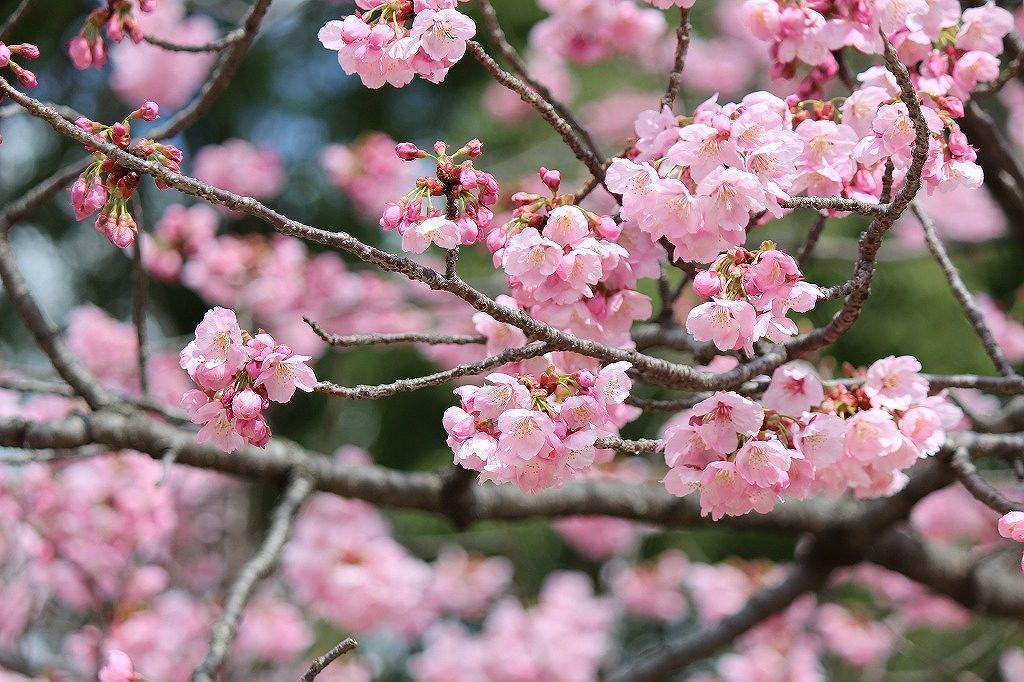 上野。桜4
