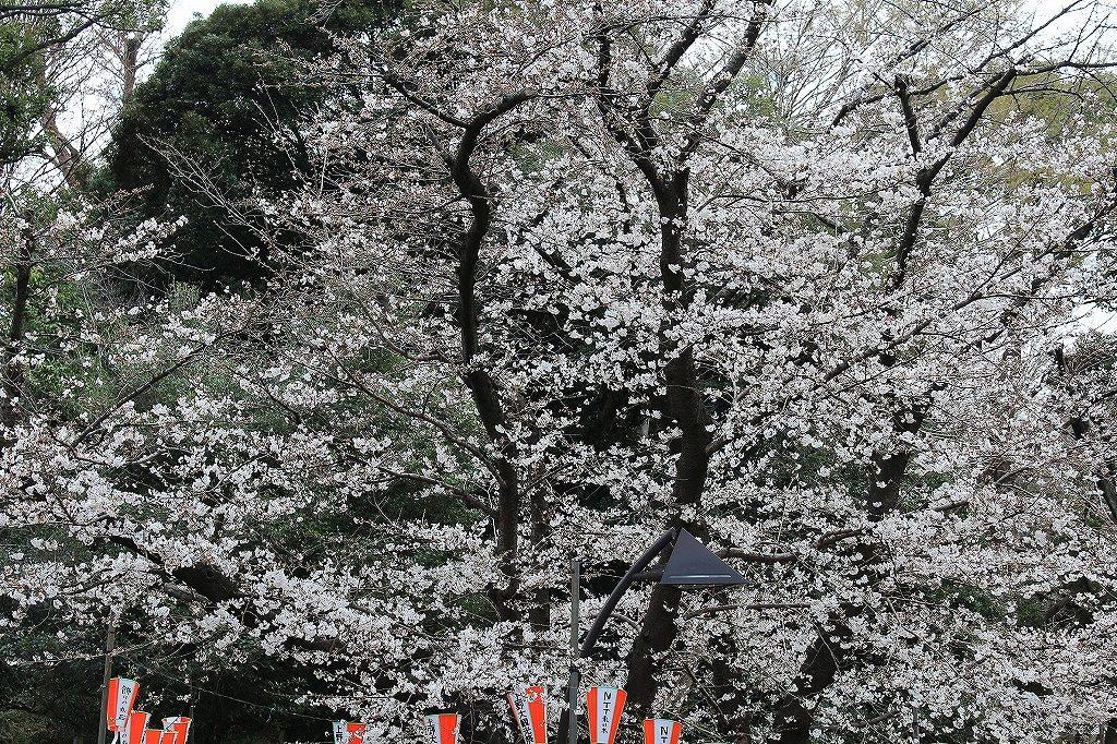 上野・桜1